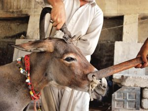 clipping a donkey 2