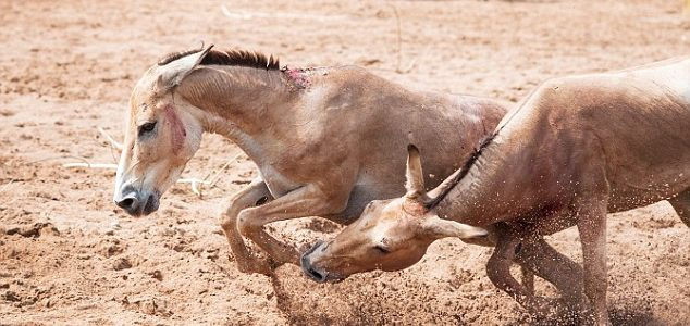 Kick ass! Donkeys get into a scuffle at Chester Zoo – with one hoofing the other in the face