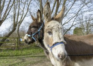 Letchworth donkeys