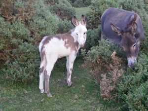 New Forest mare & foal