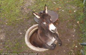 donkey falls in manhole